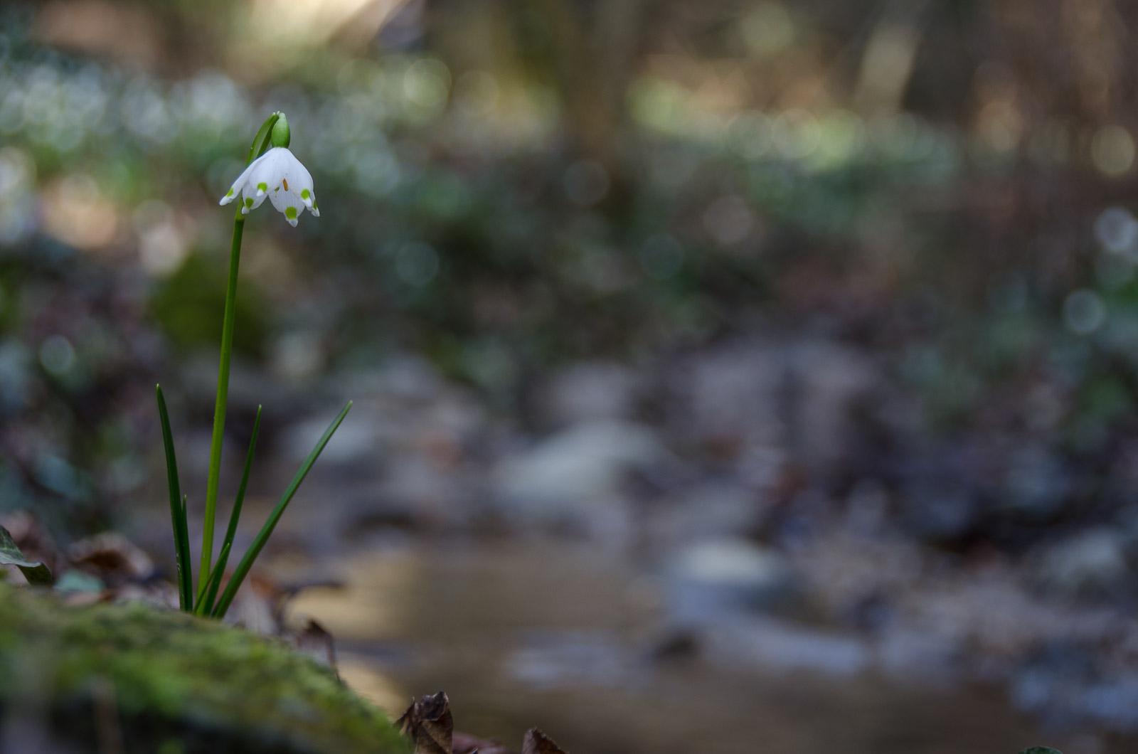 Märzenbecher im Frühlingstal