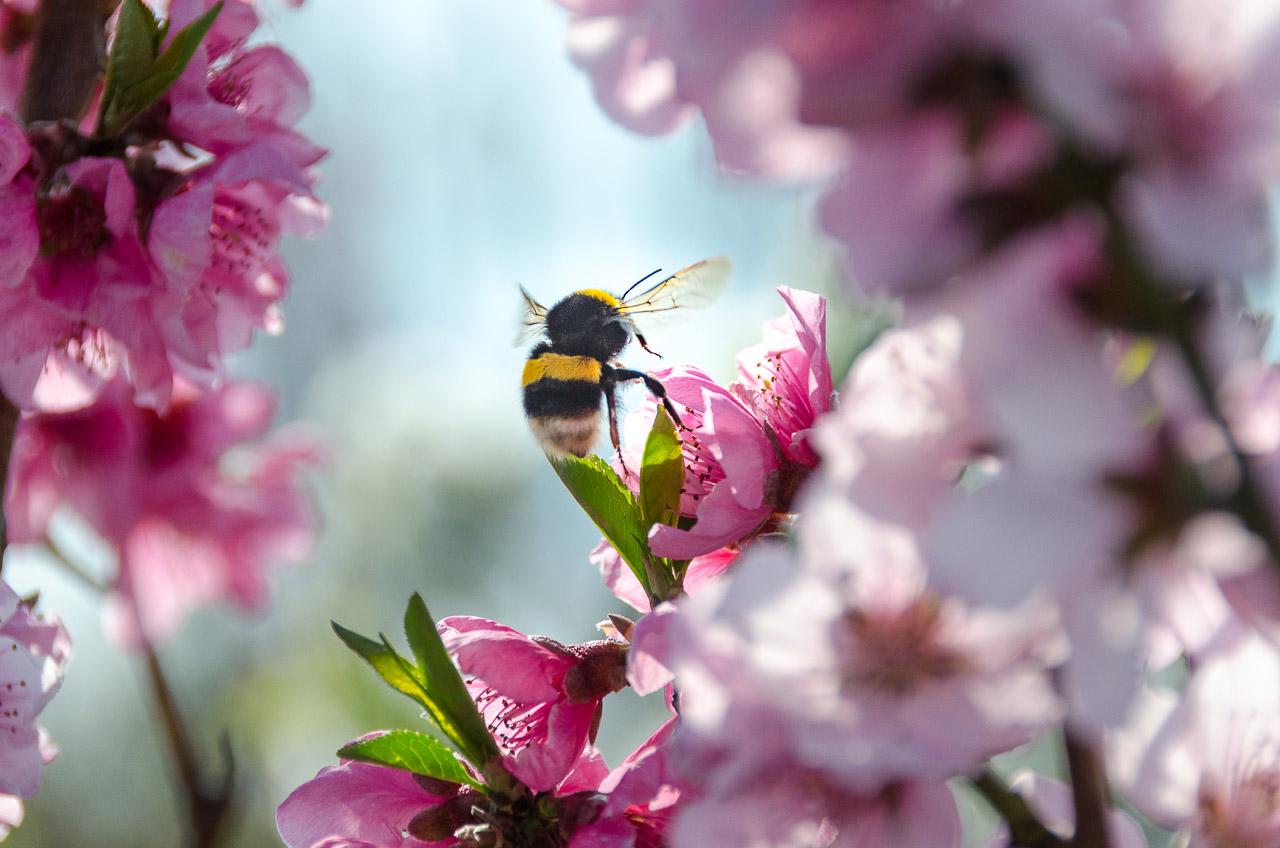 Hummel auf Kirschblüte