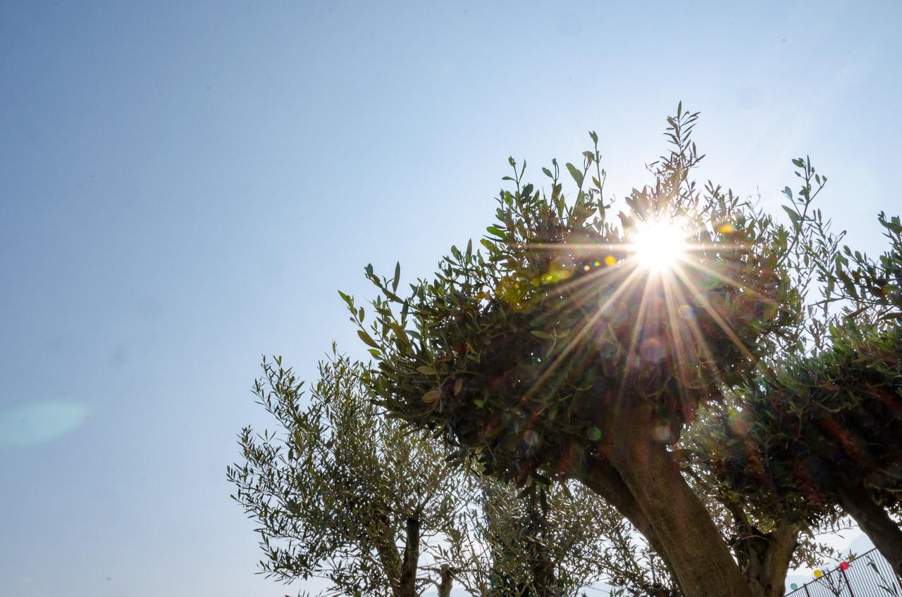 Olivenbaum in der Sonne
