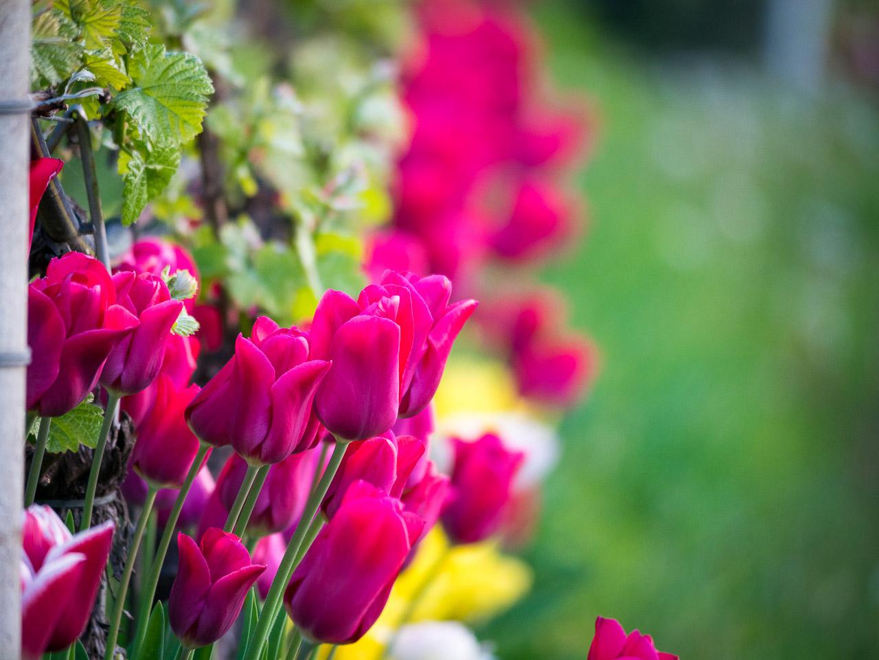 rote Tulpen im Weinberg