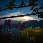 Tulpen Sonnenaufgang