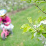 Anna mit Rad in den blühenden Apfelbäumen