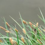 Schilf Gras