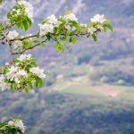 Blüte Gummererhof