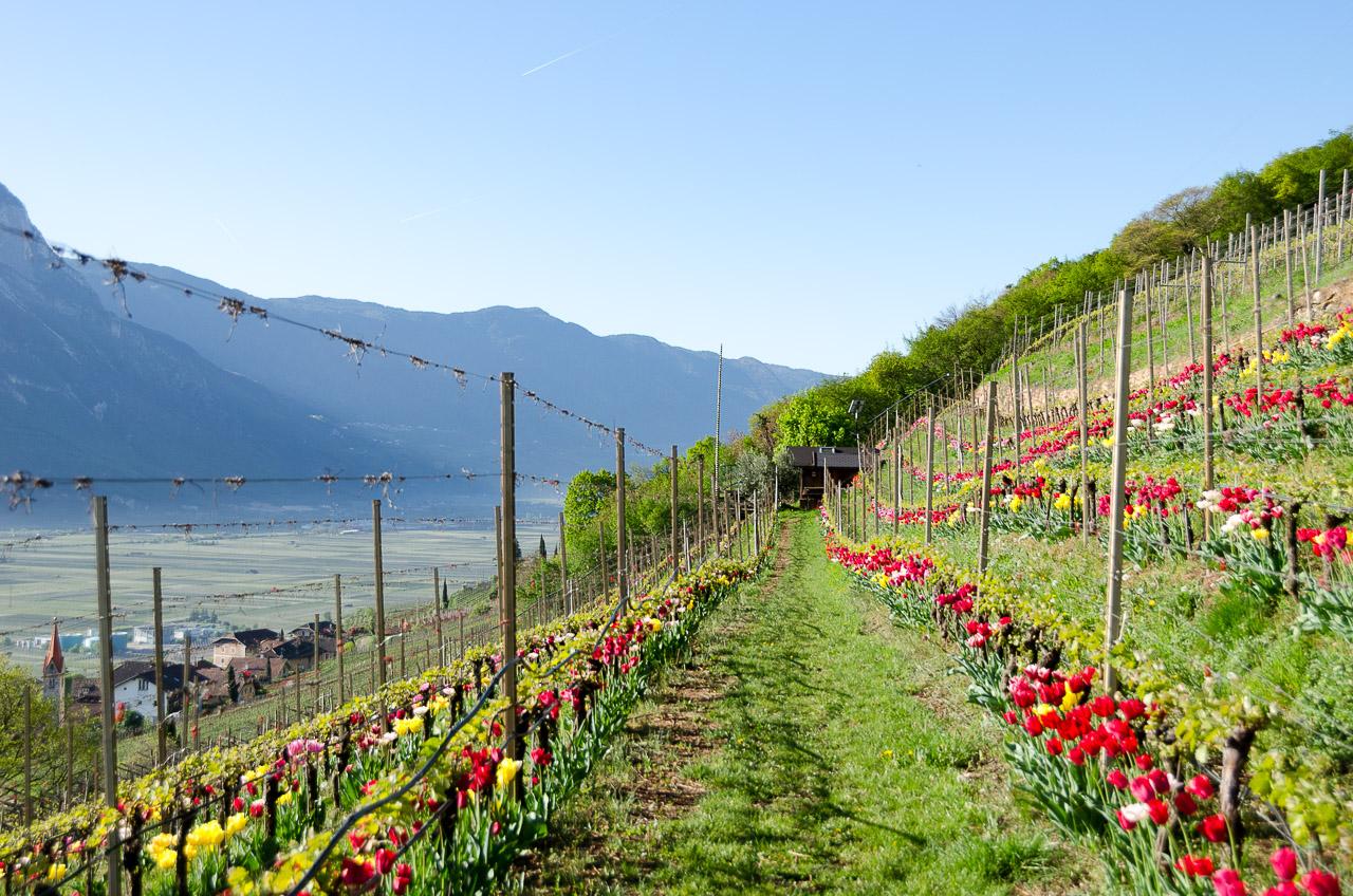 Tulpenweinberg