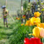 spazieren Tulpen