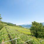 Gewürztraminer Weinwanderung Tramin