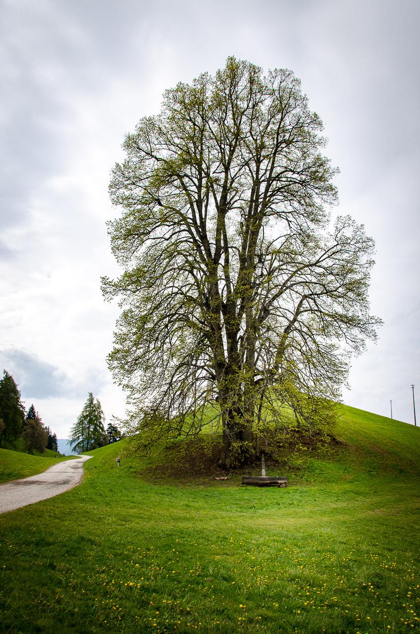 Naturdenkmal Linde Altwidum Hof