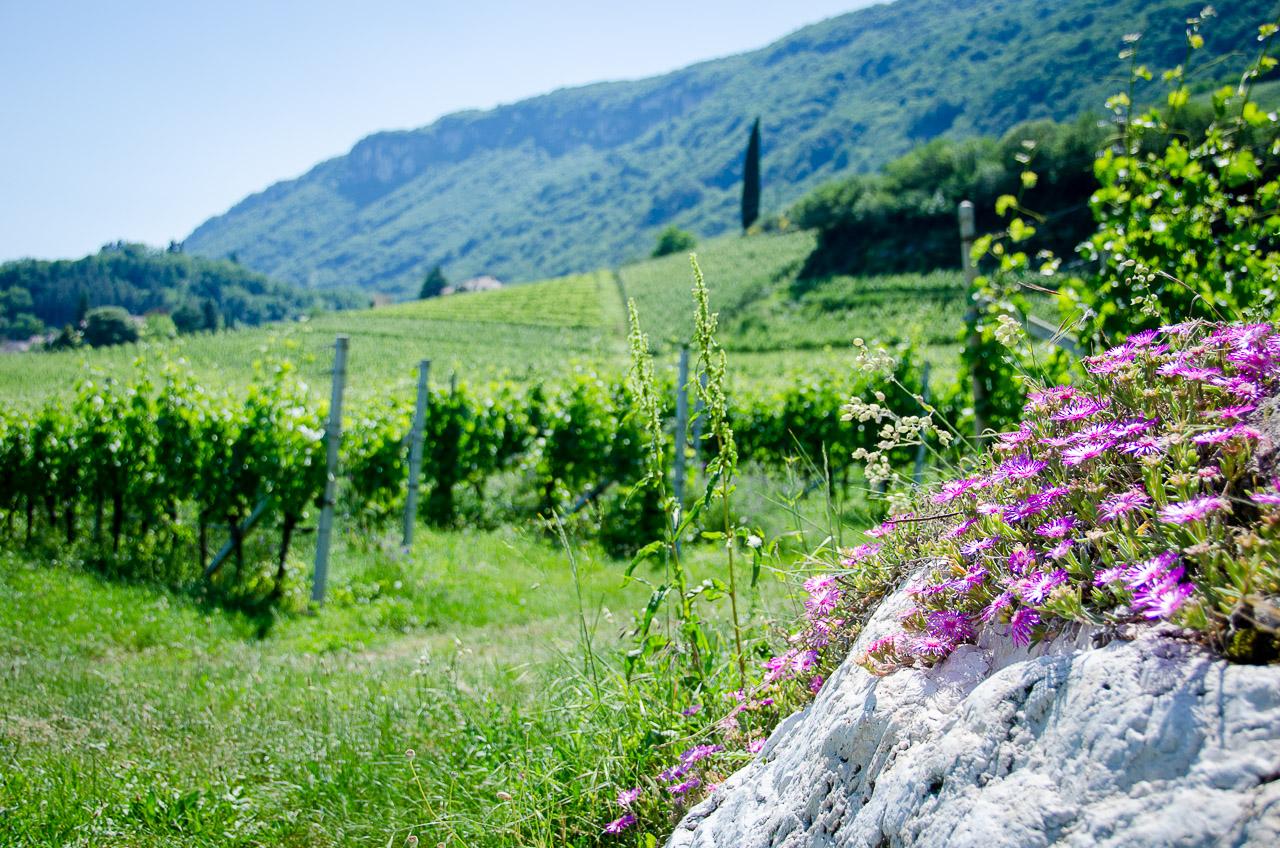 Gewürztraminer Weinwandertag Tramin