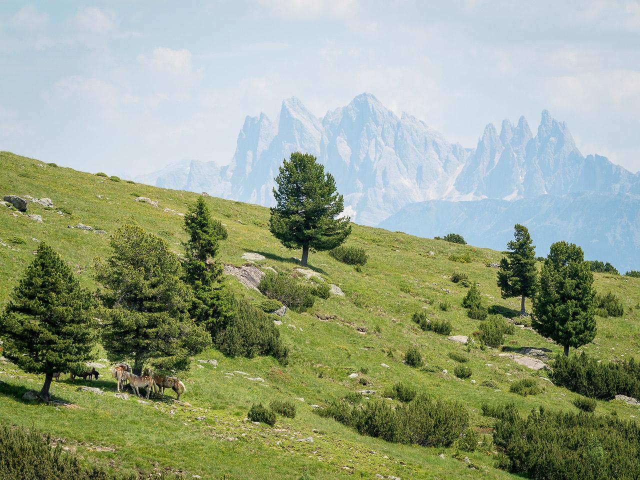 Haflinger Pferde suchen Schatten unter einer Kiefer. Im Hintergrund zeichnen die Geislerspitzen ihre markanten Konturen in den Himmel.