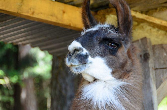 Preisgekrönter Lama-Hengst auf dem Kaserhof