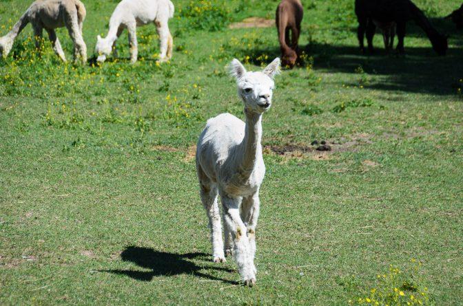 Frisch geschoren lässt es sich auch in der Hitze aushalten - weißes Alpaka vom Kaserhof