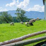 Kühe in Aldein