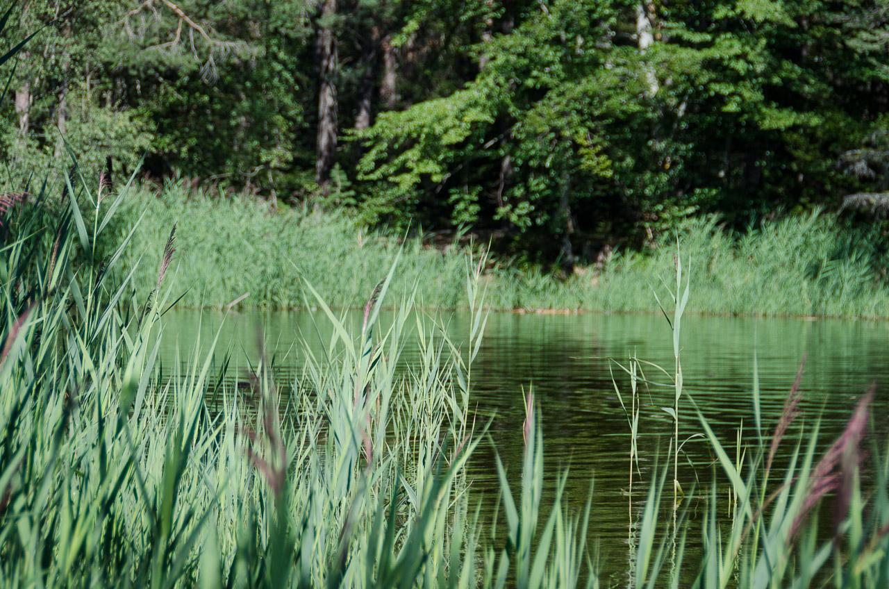 Schilf am Göllersee