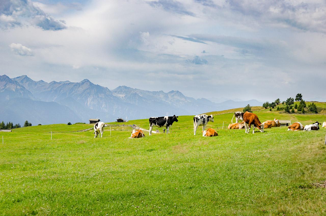 Kühe auf der Rodenecker Alm