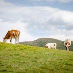 Kühe mit Astjoch im Hintergrund