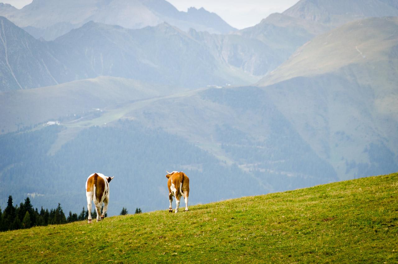 Kühe auf den Heimweg