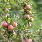 Apfelbäume mit Äpfel