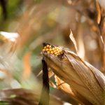 Mais für Kalterer Polenta
