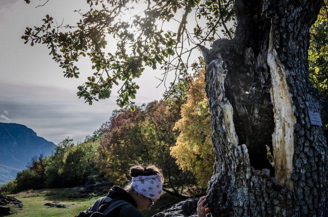 Kraftbaum Eiche auf Castelfeder