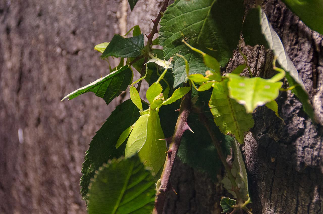 Gespenstschrecke oder auch Wandelndes Blatt