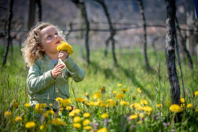 Frühlingsbeschäftigung für kleine Prinzessinnen: Löwenzahn pflücken in den Weinbergen von Kaltern