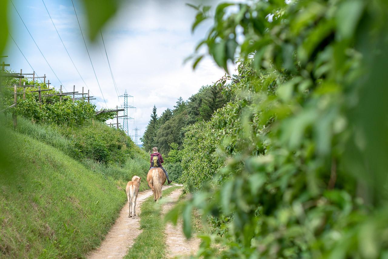 reiten auf Haflinger Pferde