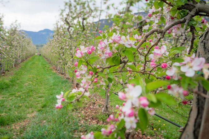 Die Kombination aus geschlossenen und geöffneten Blüten, kleidet die Apfelbäume in ein weißrosa farbendes Hochzeitskleid.