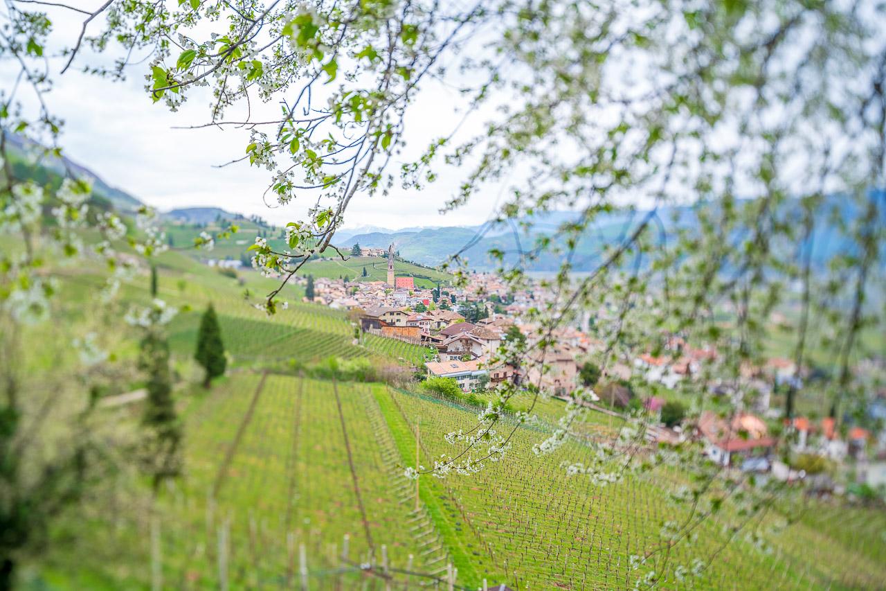 Auch die Kirschbäume blühen. Blick auf die Weinberge von Tramin.