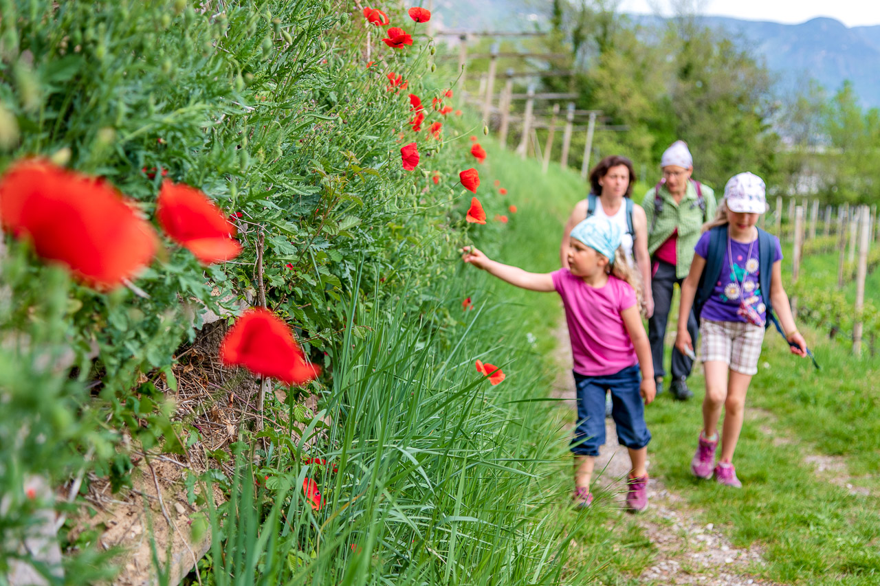 Entlang von Mohnblumen auf dem Missianer Jakobsweg zum Burgenweg