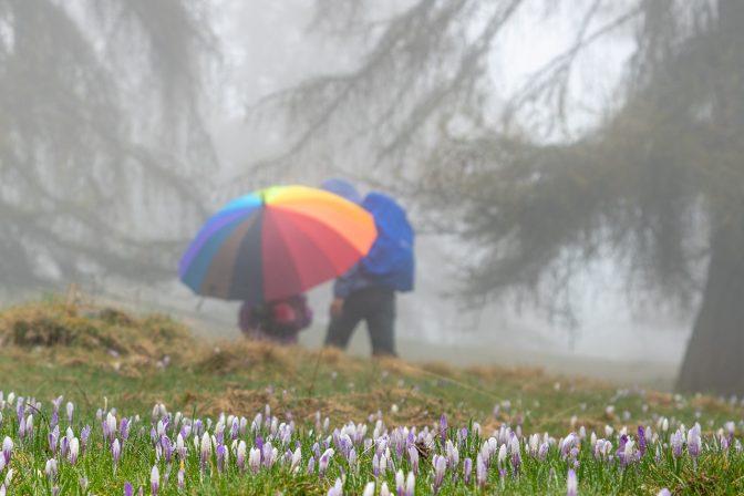 Wanderung bei Nieselregen durch die Krokusblüte zur Möltner Kaser Alm