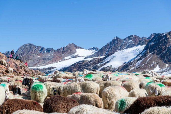 Transhumanz am Hochjochferner - traditioneller Schafübertrieb über den Alpemhauptkamm