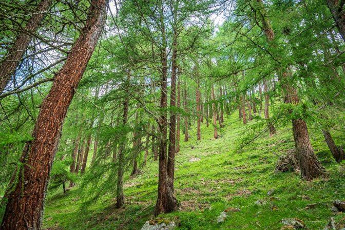 Aufstieg durch einen wunderschönen Lärchenwald